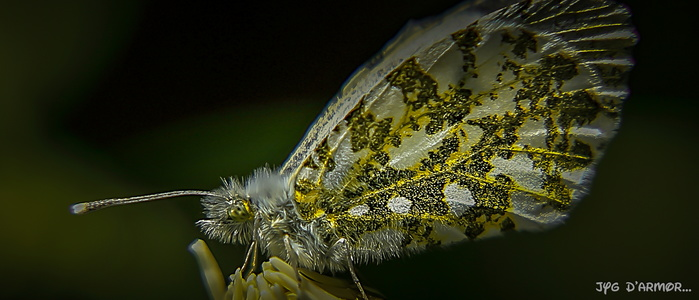 Anthocharis	cardamines	(Linnaeus, 1758)	L'Aurore